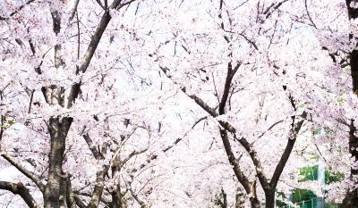 春は桜並木、夜になるとライトアップ